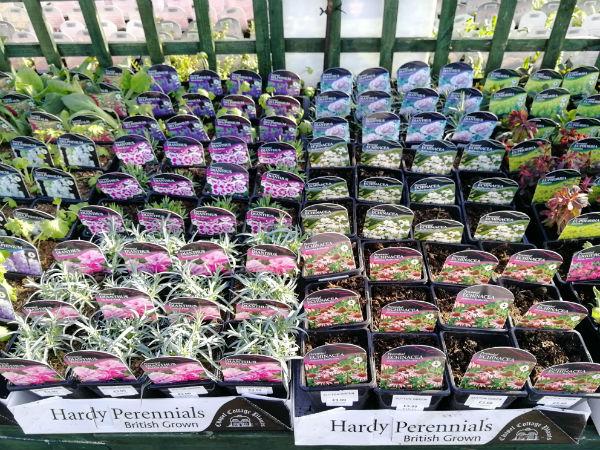 hardy-perennials